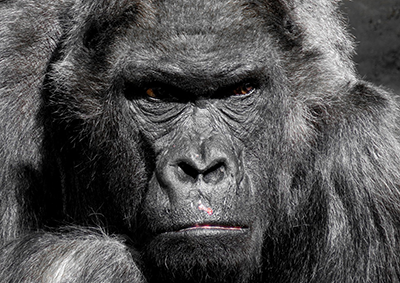 Angry Gorilla - stock image